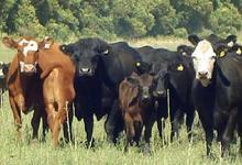 FCV: manejo nutricional y sanitario de rodeos bovinos